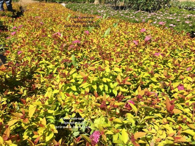 Спирея японская Меджик Карпет (Spiraea japonica Magic Carpet) ФОТО Питомник растений Природа Priroda