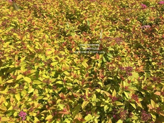Спирея японская Меджик Карпет (Spiraea japonica Magic Carpet) ФОТО Питомник растений Природа Priroda (47)
