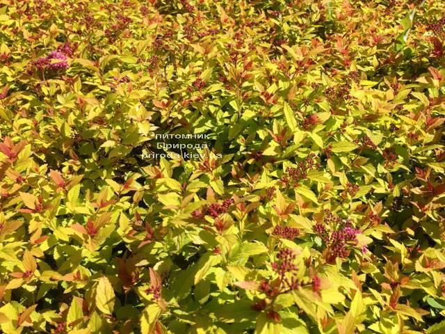 Спирея японская Меджик Карпет (Spiraea japonica Magic Carpet) ФОТО Питомник растений Природа Priroda (48)