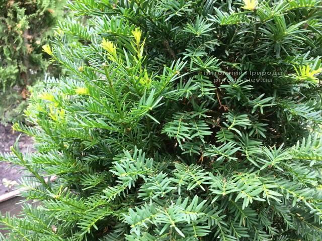 Тис ягодный (Taxus baccata) конус ФОТО Питомник растений Природа Priroda