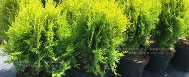 Туя восточная Ауреа Нана (Thuja orientalis Aurea Nana) ФОТО Питомник растений Природа Priroda (55)