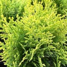 Туя восточная Ауреа Нана (Thuja orientalis Aurea Nana) ФОТО Питомник растений Природа Priroda (67)