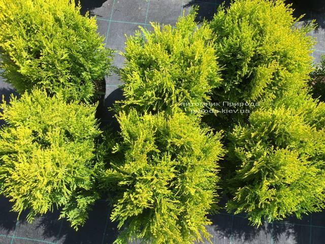 Туя восточная Ауреа Нана (Thuja orientalis Aurea Nana) ФОТО Питомник растений Природа Priroda (57)