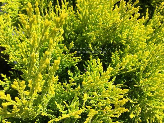 Туя восточная Ауреа Нана (Thuja orientalis Aurea Nana) ФОТО Питомник растений Природа Priroda (58)
