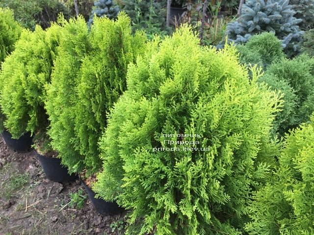 Туя восточная Ауреа Нана (Thuja orientalis Aurea Nana) ФОТО Питомник растений Природа Priroda (59)