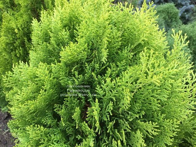 Туя восточная Ауреа Нана (Thuja orientalis Aurea Nana) ФОТО Питомник растений Природа Priroda (60)