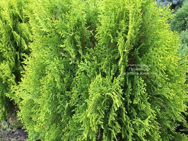 Туя восточная Ауреа Нана (Thuja orientalis Aurea Nana) ФОТО Питомник растений Природа Priroda (61)