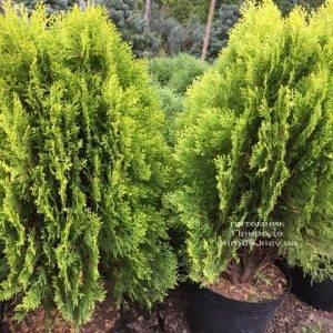 Туя восточная Ауреа Нана (Thuja orientalis Aurea Nana) ФОТО Питомник растений Природа Priroda (62)