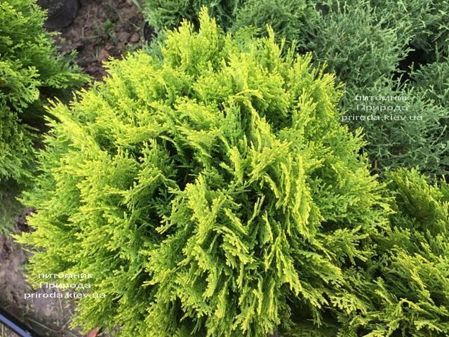 Туя восточная Ауреа Нана (Thuja orientalis Aurea Nana) ФОТО Питомник растений Природа Priroda (63)