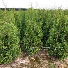 Туя западная Брабант (Thuja occidentalis Brabant) ФОТО Питомник растений Природа Priroda (32)