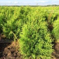 Туя западная Брабант (Thuja occidentalis Brabant) ФОТО Питомник растений Природа Priroda (25)
