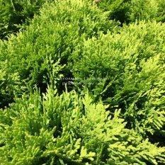 Туя западная Даника (Thuja occidentalis Danica) ФОТО Питомник растений Природа Priroda