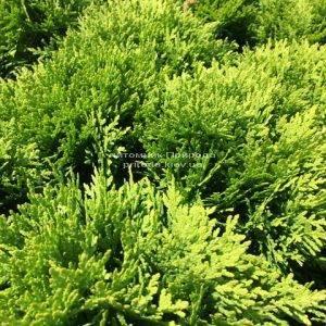 Туя западная Даника (Thuja occidentalis Danica) ФОТО Питомник растений Природа Priroda (44)