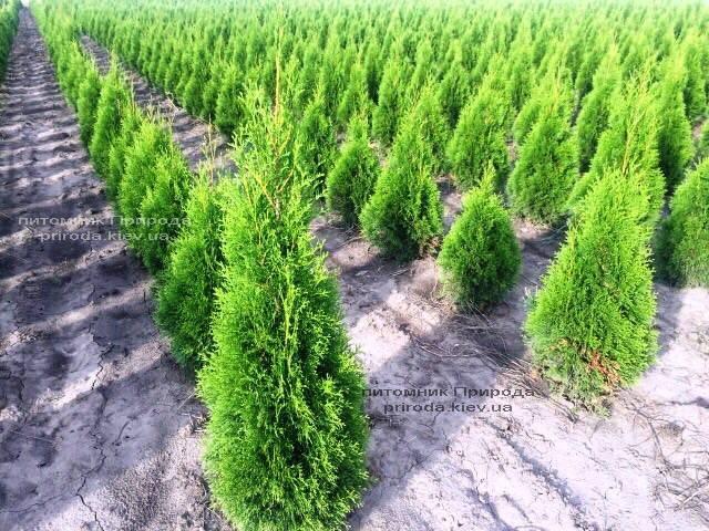 Туя западная Смарагд (Thuja occidentalis Smaragd) ФОТО Питомник растений Природа Priroda (68)