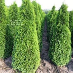 Туя западная Смарагд (Thuja occidentalis Smaragd) ФОТО Питомник растений Природа Priroda (82)