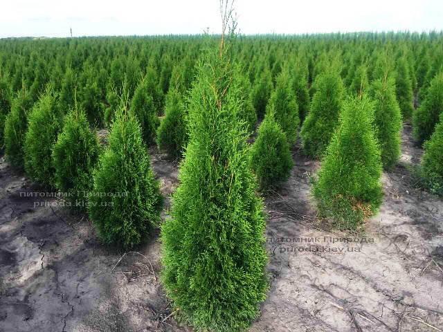 Туя западная Смарагд (Thuja occidentalis Smaragd) ФОТО Питомник растений Природа Priroda (69)