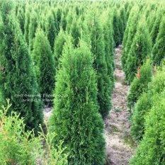 Туя западная Смарагд (Thuja occidentalis Smaragd) ФОТО Питомник растений Природа Priroda (77)