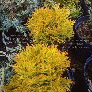 Туя западная Мирьям (Thuja occidentalis Mirjam) ФОТО Питомник растений Природа Priroda (46)