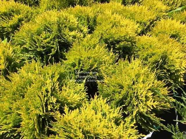 Туя западная Мирьям (Thuja occidentalis Mirjam ФОТО Питомник растений Природа Priroda