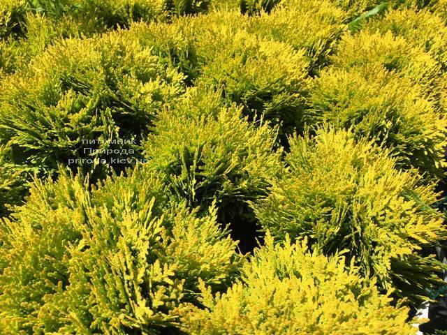 Туя западная Мирьям (Thuja occidentalis Mirjam) ФОТО Питомник растений Природа Priroda (48)