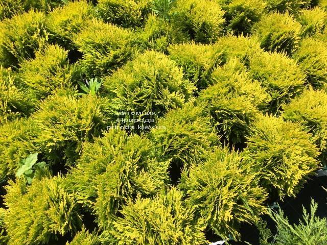 Туя западная Мирьям (Thuja occidentalis Mirjam) ФОТО Питомник растений Природа Priroda