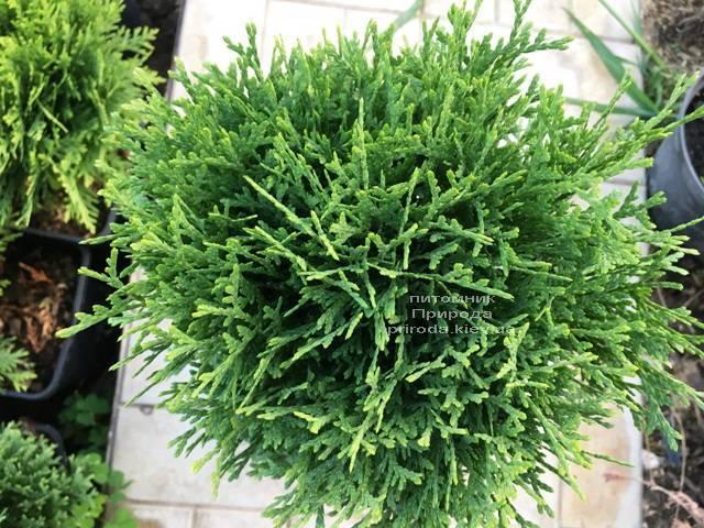 Туя западная Тини Тим (Thuja occidentalis Tini Tim) ФОТО Питомник растений Природа Priroda
