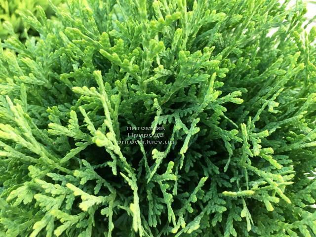Туя западная Тини Тим (Thuja occidentalis Tini Tim) ФОТО Питомник растений Природа Priroda (53)