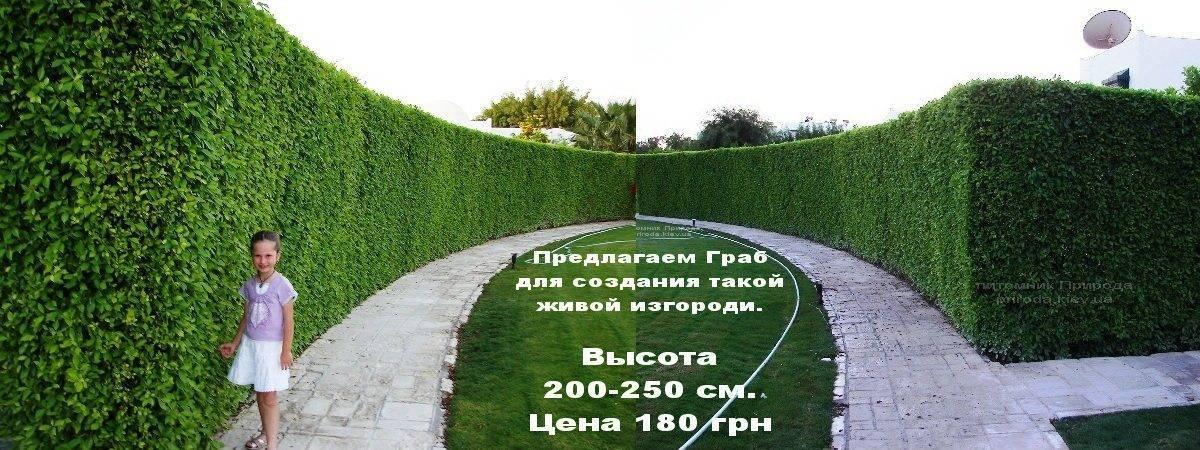 Живая изгородь из Граба ФОТО Питомник растений Природа / Priroda (7)