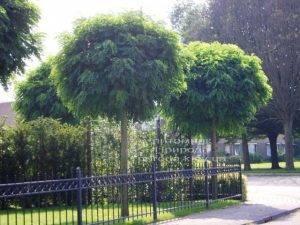Акация шаровидная (Робиния псевдоакация Умбракулифера) (Robinia pseudoacacia Umbraculifera) ФОТО Питомник растений Природа Priroda (1)