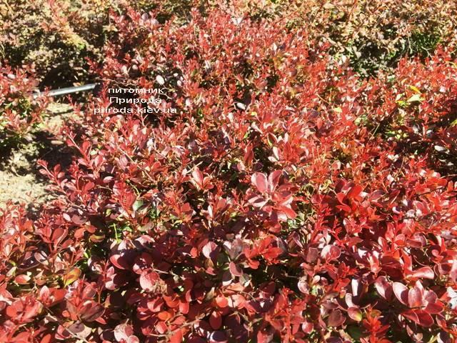 Барбарис Тунберга Атропурпуреа Нана (Berberis thunbergii Atropurpurea Nana) ФОТО Питомник растений Природа Priroda (111)