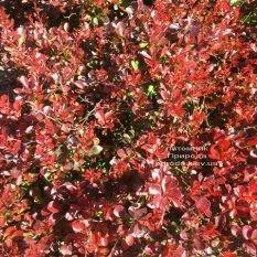 Барбарис Тунберга Атропурпуреа Нана (Berberis thunbergii Atropurpurea Nana) ФОТО Питомник растений Природа Priroda (112)