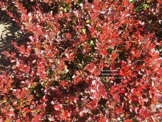 Барбарис Тунберга Атропурпуреа Нана (Berberis thunbergii Atropurpurea Nana) ФОТО Питомник растений Природа Priroda