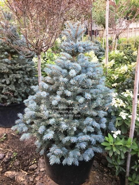 Ель голубая Глаука (Picea pungens Glauca) ФОТО Питомник растений Природа Priroda (207)