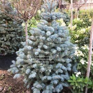 Ель голубая Глаука (Picea pungens Glauca) ФОТО Питомник растений Природа Priroda (202)