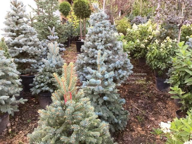 Ель голубая Глаука (Picea pungens Glauca) ФОТО Питомник растений Природа Priroda (211)