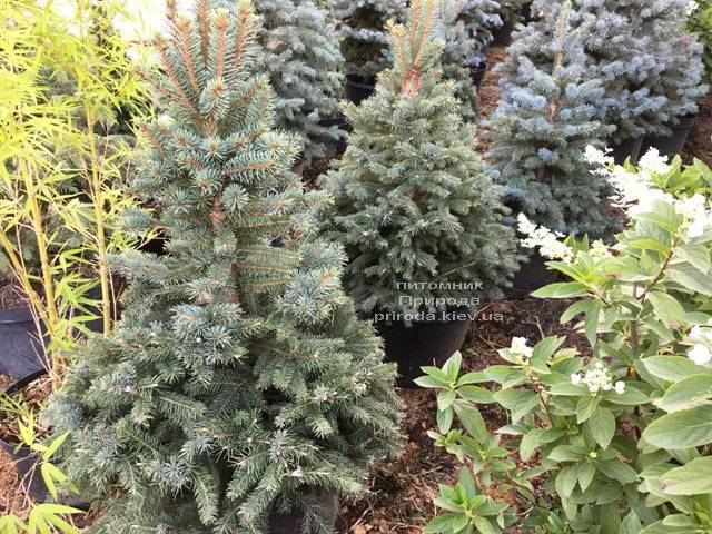 Ель голубая Глаука (Picea pungens Glauca) ФОТО Питомник растений Природа Priroda (212)
