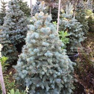 Ель голубая Глаука (Picea pungens Glauca) ФОТО Питомник растений Природа Priroda (214)