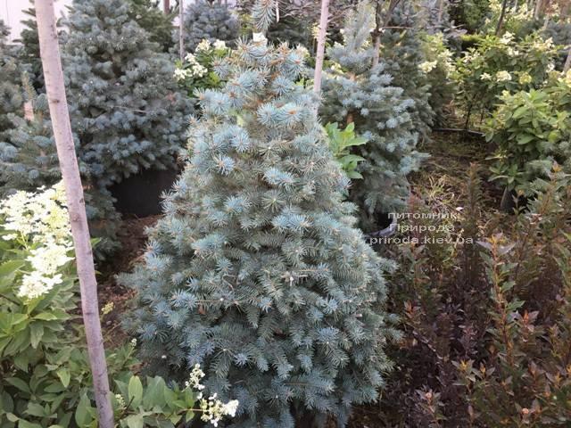 Ель голубая Глаука (Picea pungens Glauca) ФОТО Питомник растений Природа Priroda (213)