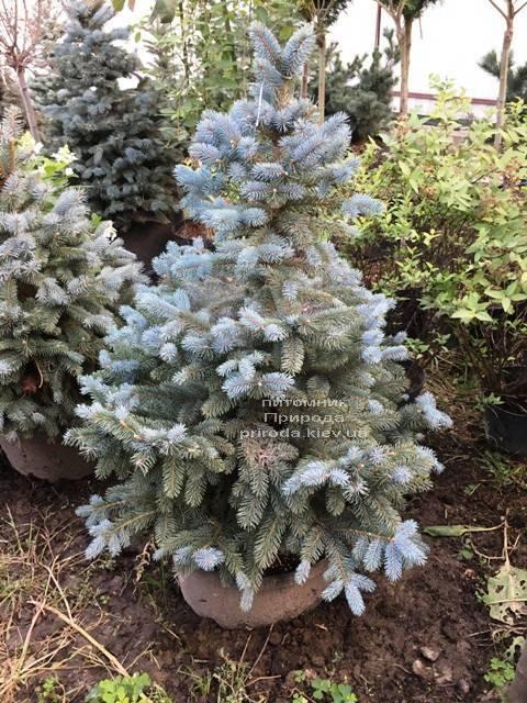 Ель голубая Глаука (Picea pungens Glauca) ФОТО Питомник растений Природа Priroda (208)
