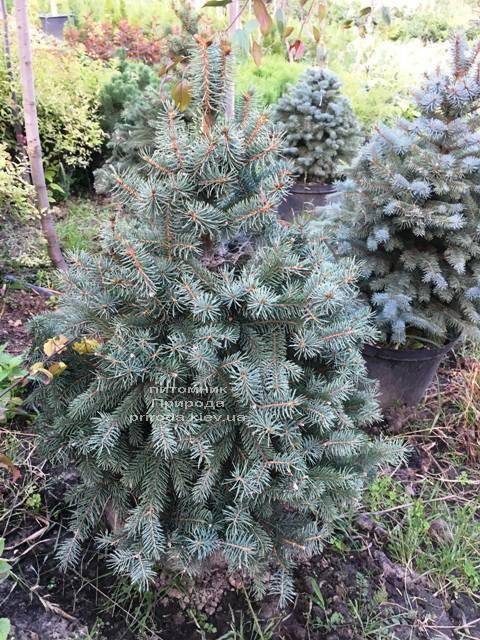 Ель голубая Глаука (Picea pungens Glauca) ФОТО Питомник растений Природа Priroda (209)