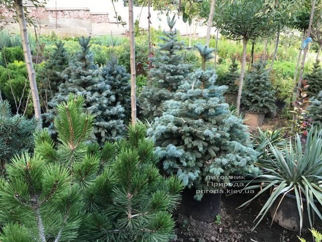 Ель голубая Глаука (Picea pungens Glauca) ФОТО Питомник растений Природа Priroda (216)
