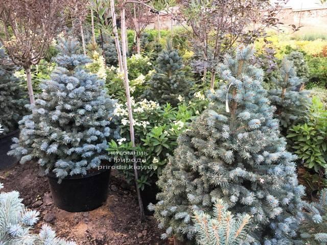 Ель голубая Глаука (Picea pungens Glauca) ФОТО Питомник растений Природа Priroda (215)