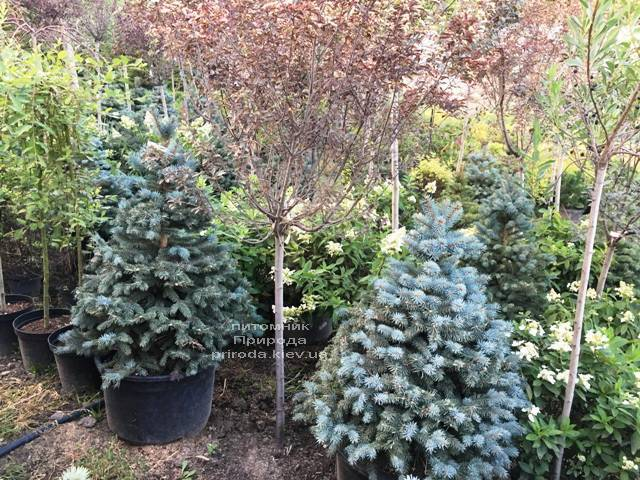Ель голубая Глаука (Picea pungens Glauca) ФОТО Питомник растений Природа Priroda (210)