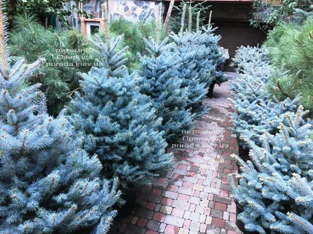 Ель голубая Блю Диамонд (Picea pungens Blue Diamond) ФОТО Питомник растений Природа Priroda (232)