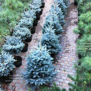 Ель голубая Блю Диамонд (Picea pungens Blue Diamond) ФОТО Питомник растений Природа Priroda (233)