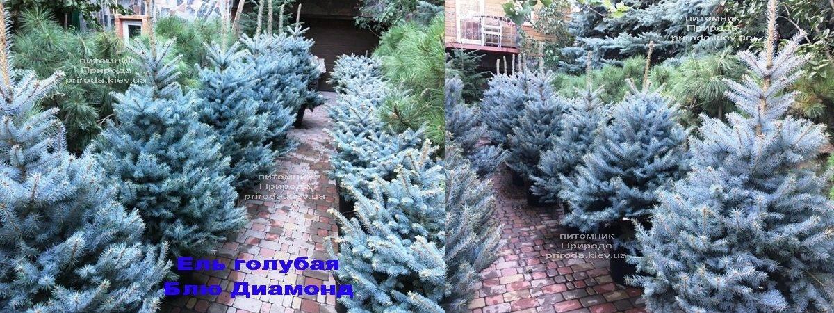 Ель голубая Блю Диамонд (Picea pungens Blue Diamond) ФОТО Питомник растений Природа Priroda (234)