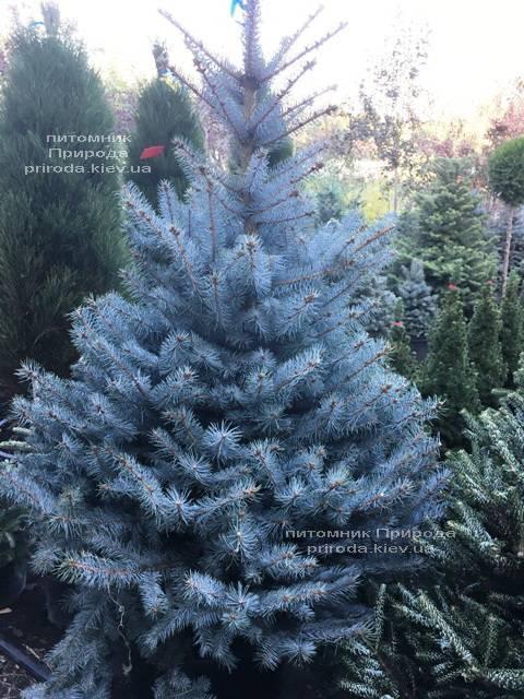 Ель голубая Блю Диамонд (Picea pungens Blue Diamond) ФОТО Питомник растений Природа Priroda (227)