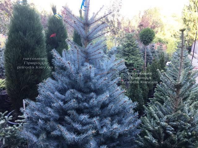 Ель голубая Блю Диамонд (Picea pungens Blue Diamond) ФОТО Питомник растений Природа Priroda (228)