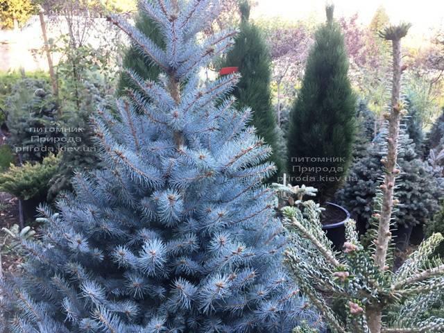 Ель голубая Блю Диамонд (Picea pungens Blue Diamond) ФОТО Питомник растений Природа Priroda