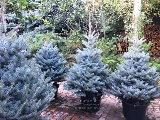 Ель голубая Блю Диамонд (Picea pungens Blue Diamond) ФОТО Питомник растений Природа Priroda (230)
